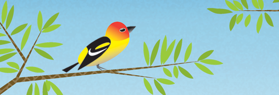 Western Tanager digital illustration by Keri Thorpe. © 2013 Keri Thorpe Design