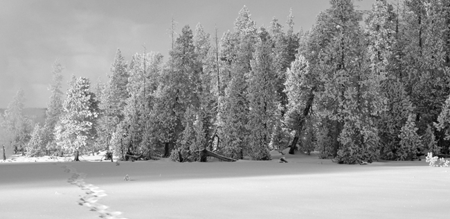 photo of snow covered pines